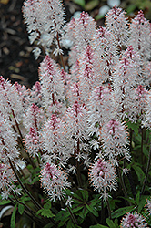Spring Symphony Foamflower (Tiarella 'Spring Symphony') at Meadows Farms Nurseries