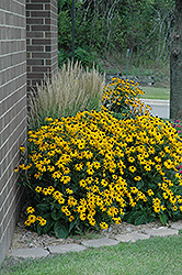 Goldsturm Coneflower (Rudbeckia fulgida 'Goldsturm') at Meadows Farms Nurseries