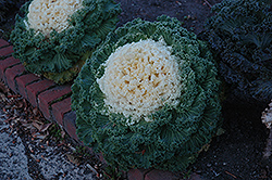 White Kale (Brassica oleracea 'White') at Meadows Farms Nurseries