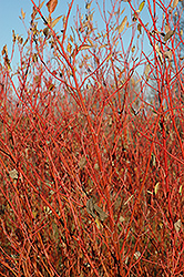 Cardinal Dogwood (Cornus sericea 'Cardinal') at Meadows Farms Nurseries