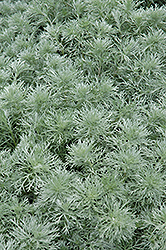 Silver Mound Artemesia (Artemisia schmidtiana 'Silver Mound') at Meadows Farms Nurseries