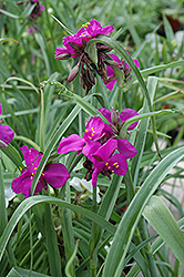 Red Grape Spiderwort (Tradescantia x andersoniana 'Red Grape') at Meadows Farms Nurseries