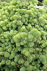 Little Gem Spruce (Picea abies 'Little Gem') at Meadows Farms Nurseries