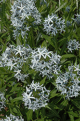 Blue Star Flower (Amsonia tabernaemontana) at Meadows Farms Nurseries