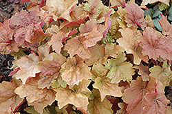 Dolce® Creme Brulee Coral Bells (Heuchera 'Tnheu041') at Meadows Farms Nurseries