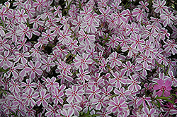 Candy Stripe Moss Phlox (Phlox subulata 'Candy Stripe') at Meadows Farms Nurseries