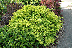 Golden Japanese Barberry (Berberis thunbergii 'Aurea') at Meadows Farms Nurseries