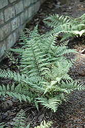 Ghost Fern (Athyrium 'Ghost') at Meadows Farms Nurseries