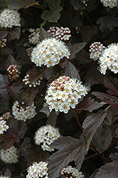 Diablo Ninebark (Physocarpus opulifolius 'Diablo') at Meadows Farms Nurseries