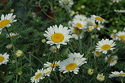 Sauce Hollandaise Marguerite Daisy (Anthemis tinctoria 'Sauce Hollandaise') at Meadows Farms Nurseries