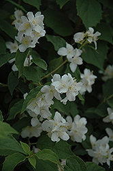 Sweet Mockorange (Philadelphus coronarius) at Meadows Farms Nurseries