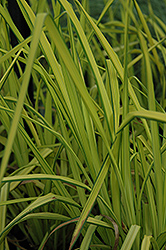 Bowles Golden Sedge (Carex elata 'Aurea') at Meadows Farms Nurseries