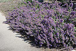 Walker's Low Catmint (Nepeta x faassenii 'Walker's Low') at Meadows Farms Nurseries