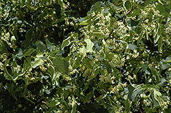Greenspire Linden (Tilia cordata 'Greenspire') at Meadows Farms Nurseries