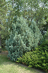 Wichita Blue Juniper (Juniperus scopulorum 'Wichita Blue') at Meadows Farms Nurseries