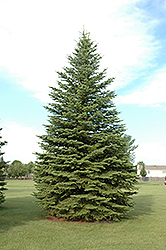 Colorado Spruce (Picea pungens) at Meadows Farms Nurseries