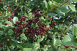 Chokecherry (Prunus virginiana) at Meadows Farms Nurseries
