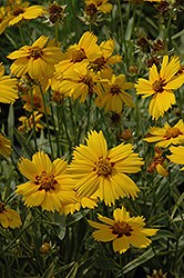 Tequila Sunrise Tickseed (Coreopsis 'Tequila Sunrise') at Meadows Farms Nurseries
