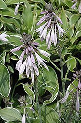 Francee Hosta (Hosta 'Francee') at Meadows Farms Nurseries