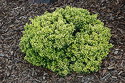 Golden Nugget Japanese Barberry (Berberis thunbergii 'Golden Nugget') at Meadows Farms Nurseries