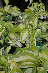 Summer Music Hosta (Hosta 'Summer Music') at Meadows Farms Nurseries