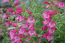 Red Rocks Beard Tongue (Penstemon x mexicali 'Red Rocks') at Meadows Farms Nurseries