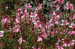 Butterfly Gaura (Gaura lindheimeri) at Meadows Farms Nurseries