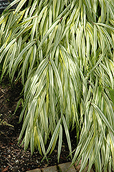 Golden Variegated Hakone Grass (Hakonechloa macra 'Aureola') at Meadows Farms Nurseries