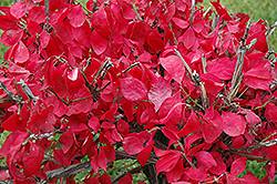 Compact Winged Burning Bush (Euonymus alatus 'Compactus') at Meadows Farms Nurseries