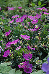 Max Frei Cranesbill (Geranium sanguineum 'Max Frei') at Meadows Farms Nurseries