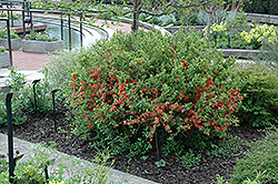 Japanese Flowering Quince (Chaenomeles japonica) at Meadows Farms Nurseries