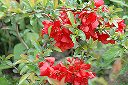 Texas Scarlet Flowering Quince (Chaenomeles speciosa 'Texas Scarlet') at Meadows Farms Nurseries