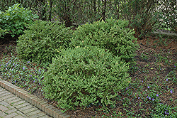 Wintergreen Boxwood (Buxus microphylla 'Wintergreen') at Meadows Farms Nurseries