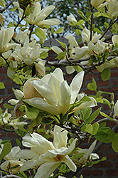 Elizabeth Magnolia (Magnolia 'Elizabeth') at Meadows Farms Nurseries