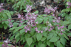 Lilafee Bishop's Hat (Epimedium grandiflorum 'Lilafee') at Meadows Farms Nurseries