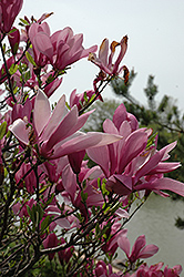 Ann Magnolia (Magnolia 'Ann') at Meadows Farms Nurseries