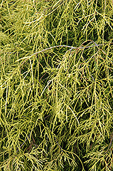 Sungold Falsecypress (Chamaecyparis pisifera 'Sungold') at Meadows Farms Nurseries