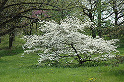 White Cloud Flowering Dogwood (Cornus florida 'White Cloud') at Meadows Farms Nurseries