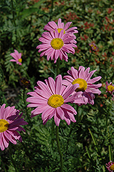 Robinson's Pink Painted Daisy (Tanacetum coccineum 'Robinson's Pink') at Meadows Farms Nurseries