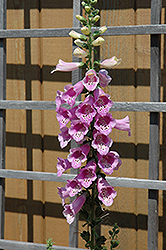 Common Foxglove (Digitalis purpurea) at Meadows Farms Nurseries