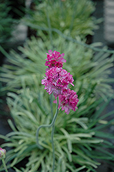 Nifty Thrifty Sea Thrift (Armeria maritima 'Nifty Thrifty') at Meadows Farms Nurseries