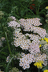 Lavender Lady Yarrow (Achillea millefolium 'Lavender Beauty') at Meadows Farms Nurseries