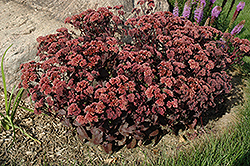 Purple Emperor Stonecrop (Sedum 'Purple Emperor') at Meadows Farms Nurseries