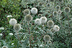 Arctic Glow Globe Thistle (Echinops sphaerocephalus 'Arctic Glow') at Meadows Farms Nurseries