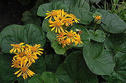 Desdemona Rayflower (Ligularia dentata 'Desdemona') at Meadows Farms Nurseries