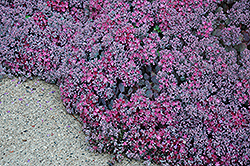 Lidakense Stonecrop (Sedum cauticola 'Lidakense') at Meadows Farms Nurseries