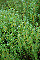 Common Thyme (Thymus vulgaris) at Meadows Farms Nurseries