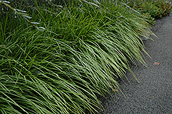 Lily Turf (Liriope spicata) at Meadows Farms Nurseries