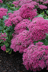 Neon Stonecrop (Sedum spectabile 'Neon') at Meadows Farms Nurseries
