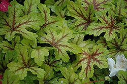 Alabama Sunrise Foamy Bells (Heucherella 'Alabama Sunrise') at Meadows Farms Nurseries